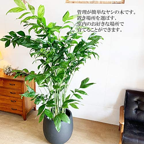 高性チャメドレア ヤシの木 10号 バルーン型 デザイナーズ 高級鉢カバー付 ブラック 大鉢 観葉植物 大型 インテリア 10号鉢 尺鉢