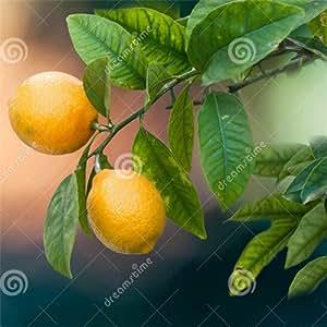 semillas de limón, semillas de interior al aire libre Bonsai, comestibles semillas amarillas de árbol de limón, los alimentos orgánicos, regalo del té -100 semillas