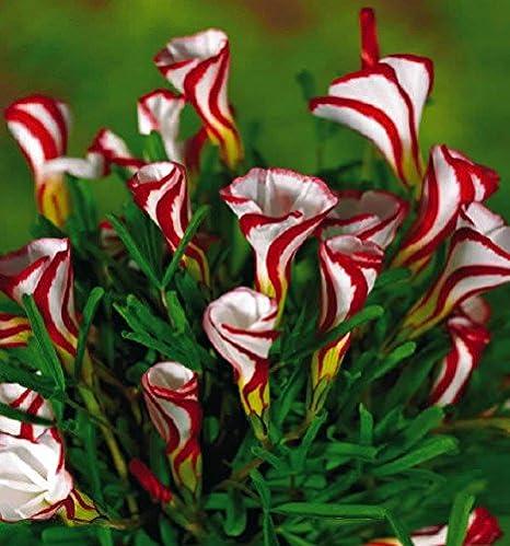 50PCS Rare bonsai dark red flower Arum flower seeds potted perennial home garden