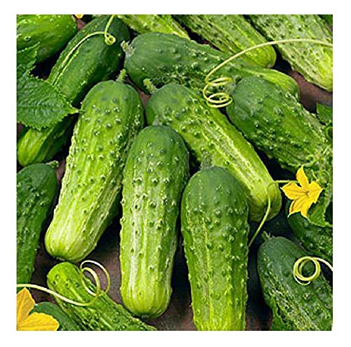 David's Garden Seeds Cucumber Pickling Boston SL3009 (Green) 50 Non-GMO, Heirloom Seeds (Best Pickling Cucumber Seeds)