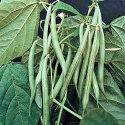 Green Bean, Blue Lake, Pole, Heirloom, Organic 20+ Seeds, Non-gmo, Tasty N Healty Beans