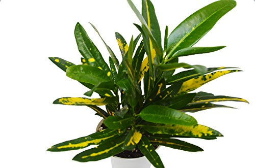 Live Croton 'Sunny Star' in Pot - Live Plant - FREE Care Guide - 4'' Pot by House Plant Shop
