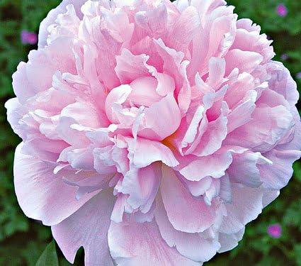 2 Peony Bulbs Peonies Sarah Bernhardt Set of 2 Roots Peony Flower