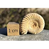 Small Ammonite Fossil -150 Million Years Old Fossil.