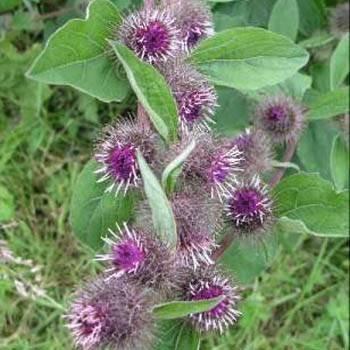 Outsidepride Burdock Arctium Lappa Plant Seed - 1000 Seeds