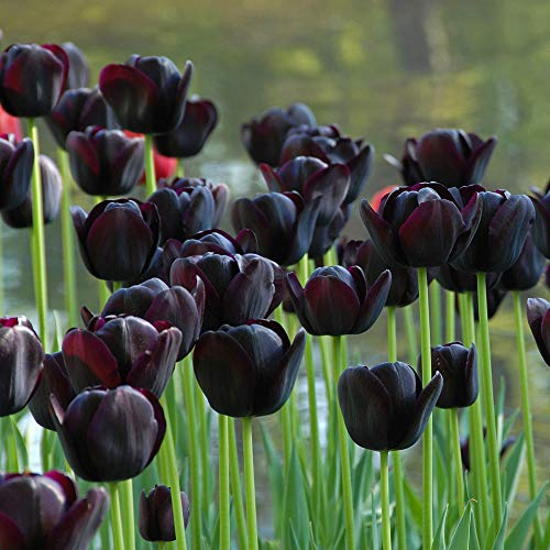 Queen of Night Single Late Tulip 10 Bulbs - Almost Black - 12/+ cm Bulbs