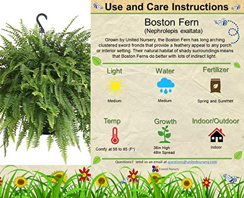 United Nursery Boston Fern, Live Indoor and Outdoor Hanging Basket Plant. 30'' Shipping Size. Shipped Fresh from Our Florida Farm by United Nursery (Image #1)