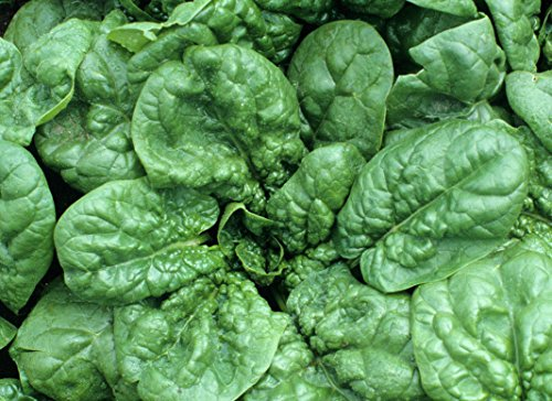 10 Grams Bloomsdale Long-Standing Spinach ~300 Seeds Sweet n Creamy Heirloom ()