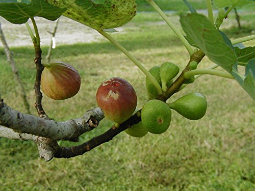 Brown Turkey Fig, Cold Hardy, LIVE POTTED PLANT, Fruit Tree