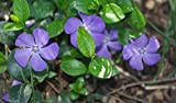40+ Vinca Orchid Periwinkle Flower Seeds / Annual