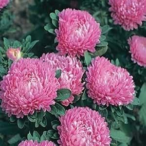 Aster-Callistephus Dwarf- Milady Rose- 50 Seeds