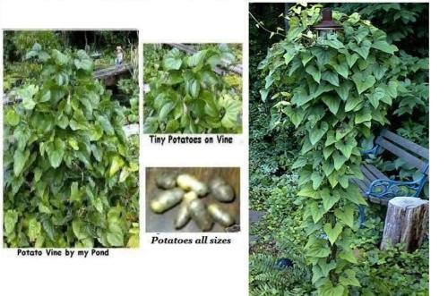 POTATO VINE GREEN LEAF PERENNIAL VINE CINNAMON SCENT 5 + SEEDS