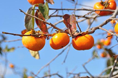 (Wild American Persimmon (Fruit Tree) - 50 Seeds)
