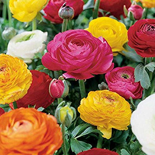 Ranunculus Mixture - 10 Bulbs (Florist Netherlands)