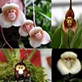 20 Seeds Monkey Face Orchid Flower Seeds Plant Seed Bonsai Home Garden
