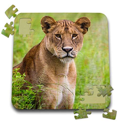- 3dRose Danita Delimont - Lions - Tanzania. African Lioness, Panthera Leo, at Tarangire National Park. - 10x10 Inch Puzzle (pzl_312521_2)