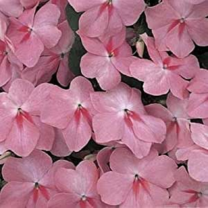 Impatiens Accent Series Coral Annual Seeds