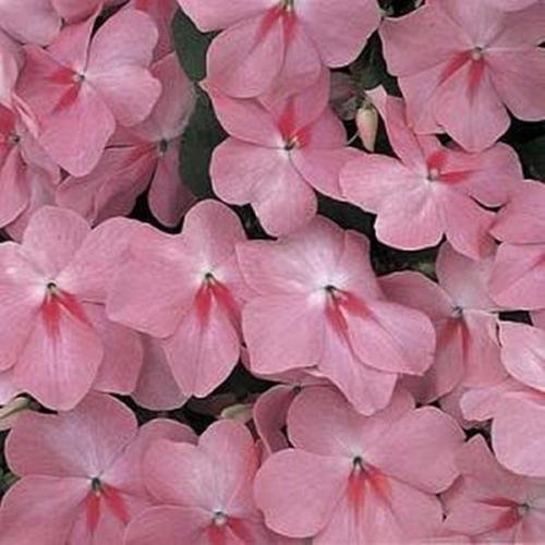 Impatiens Accent - Impatiens Accent Series Coral Annual Seeds
