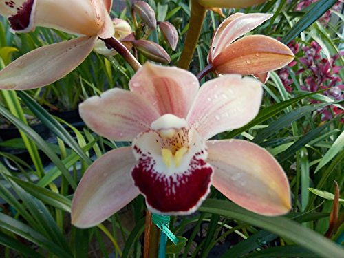 Cymbidium Street of Gold '#1' Fragrant! Warm Growing! Easy to grow orchid by Kawamoto Orchid Nursery