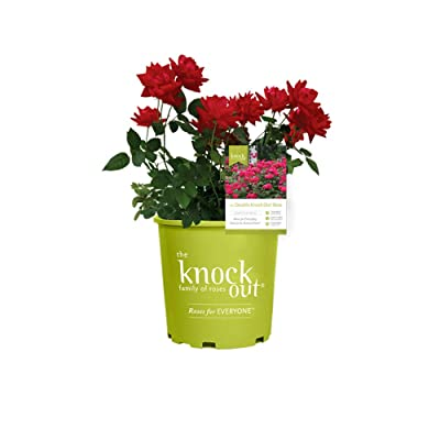 Knockout Double Red Rose, 3 Ga : Garden & Outdoor