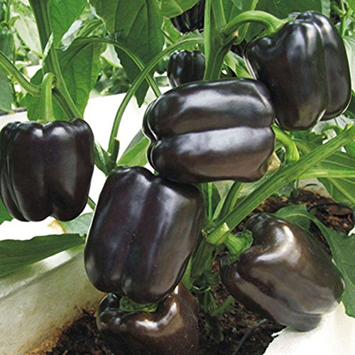 Green Peppers Sweet - Sweet Pepper Black Horse Bell Seeds Vegetable for Planting Giant Organic Non GMO 30 Seeds