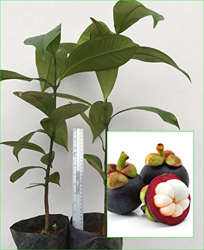 2 Mangosteen Tree Tropical Plant 20'' Tall Garcinia mangostana Queen of fruit Direct from Thailand Free Phytosanitary Cert. by Nature8 Farm
