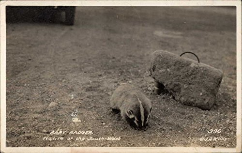 Baby Badger, Native of the Southwest Other Animals Original Vintage Postcard from CardCow Vintage Postcards