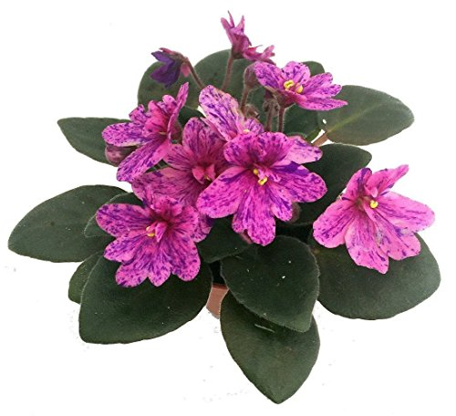olet - 1 Plant/2