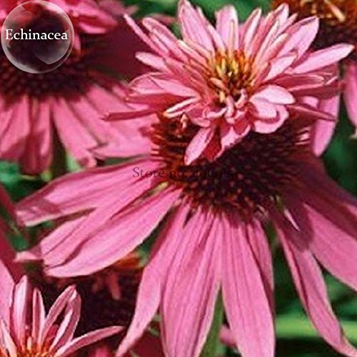 2018 Hot Sale!! Heirloom Echinacea Purpurea 'Gongji' Light PinkDouble Decker Coneflowers, 100 Seeds, Perennial Easy to Grow E3848