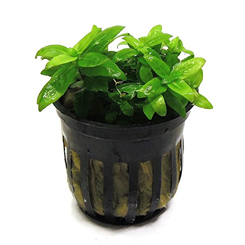 SubstrateSource Staurogyne repens Low Grow Potted Live Aquatic Freshwater Aquarium Plant by SubstrateSource