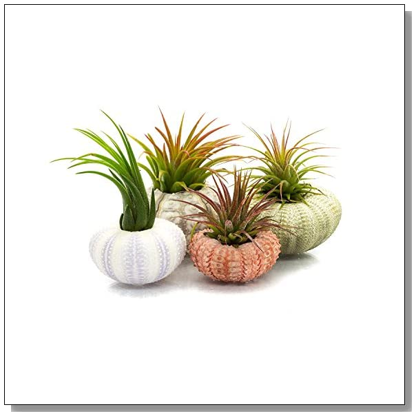 Jellyfish Air Plant Holders 4 Pack: How To Make A Hanging Sea Urchin Air Plant Holder