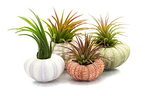 Nautical Crush Trading Urchin Air Plant Assortment | Varieties of Sea Urchins with Tillandsia Gift Set TM (4 Pack) by Nautical Crush Trading