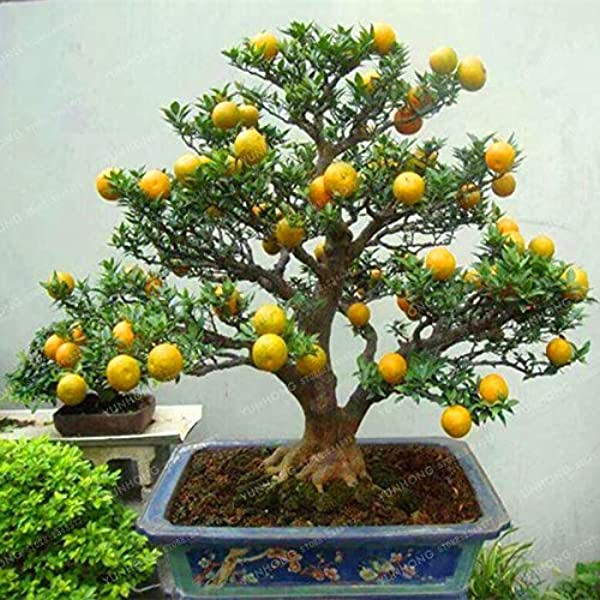 Amazon Com Mapplegreen Mandarin Orange Bonsai Edible Fruit Bonsai Tree Citrus Bonsai Bonsai Healthy Food Home Garden Easy To Grow 30 Pcs Garden Outdoor
