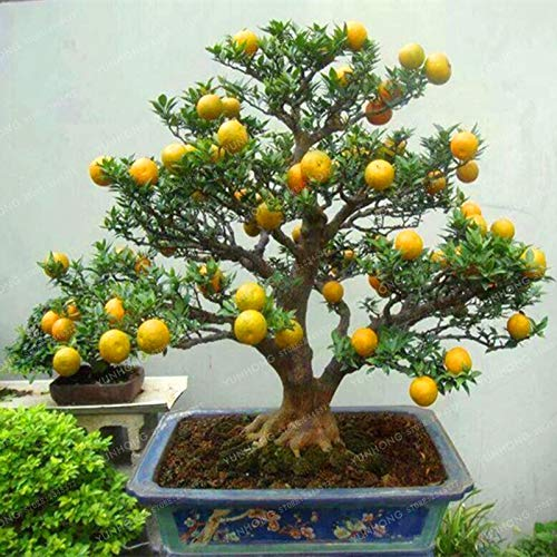bonsai fruit - 3