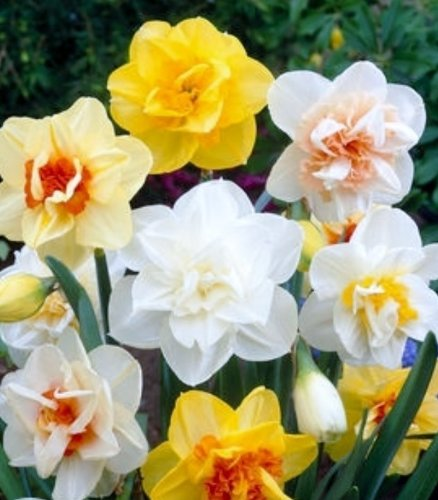DOUBLE DUTCH DAFFODIL MIXTURE - 25 BULBS - SUPER VALUE! for sale  Delivered anywhere in USA