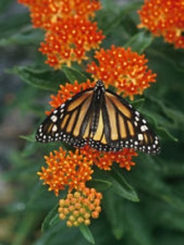 Organic 25+Orange Milkweed Butterfly Bush Perennial save-the-Monarch-butterfly