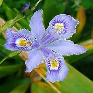 5pcs raros colores del iris semillas semillas de la herencia Iris tectorum perenne de flores plantas bonsai muy bonito para el bricolaje A14 jardín de su casa