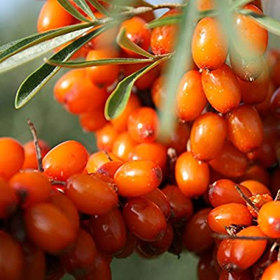 Wild Seabuckthorn Seeds (Hippophae rhamnoides) 40+ Organic Heirloom Seeds in FROZEN SEED CAPSULES for The Gardener & Rare Seeds Collector - Plant Seeds Now or Save Seeds for Many Years : Garden & Outdoor
