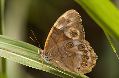 A Pearly Eye Butterfly (Enodia) Rests On A Blade Of Grass Vian Oklahoma United States Of America Poster Print by Robert L Potts Design Pics (34 x 22)