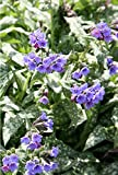 4 Bare Root of Pulmonaria 'Trevi Fountain'