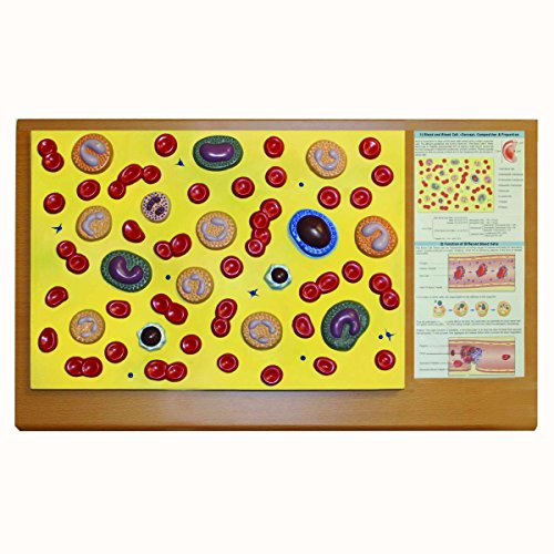 Walter Products B10501 Blood Cell Model