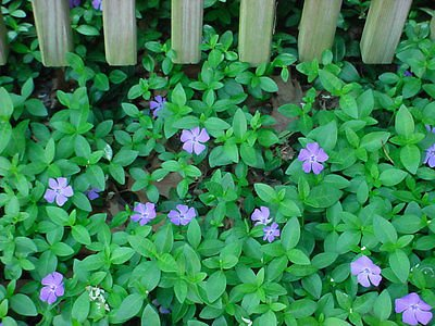 - 50 Vinca Minor vine clumps 15-20 leads, Periwinkle, graveyard vine ground cover