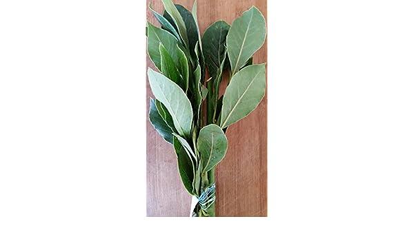 Fresh Bay Leaves Hoja Laurel 2 oz. Culinary Herbs: Amazon.com ...