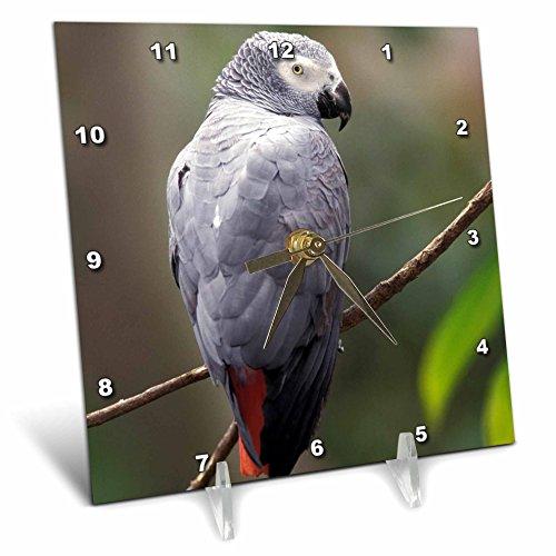 3dRose dc_83574_1 African Gray Parrot, Tropical Bird NA02 AJE0248 Adam Jones Desk Clock, 6 by 6-Inch