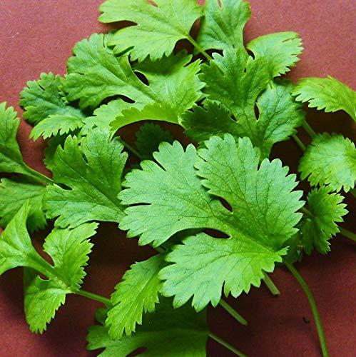Portal Cool cilantro | Cilantro - Indo - 1500 Seeds [.for un cultivo de la hoja sabroso-empernado Slow]