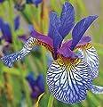 Pretty Flowering Perenials, Siberian Iris, Shakers Prayer, Root, Plant, Great Spectacular Flower Heads