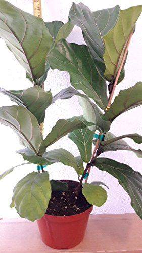 Fiddle Leaf Fig Tree - Ficus Lyrata - Great Indoor Tree - Easy - 8