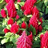 Outsidepride Celosia Scarlet - 500 Seeds