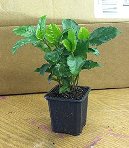 Coffee Bean Plant Seeds ★ TROPICAL ROBUSTA ★ New Limited Variety ★ 25 Seeds