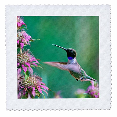 3dRose Danita Delimont - Hummingbirds - Black-chinned Hummingbird drinking nectar at a bee balm, Texas, USA.   - 18x18 inch quilt square (qs_260182_7)